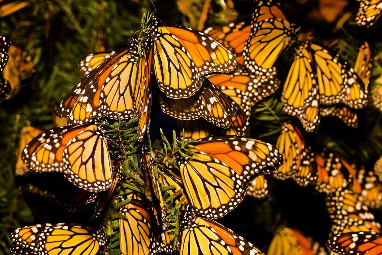 A regular comeback of the migratory monarch/