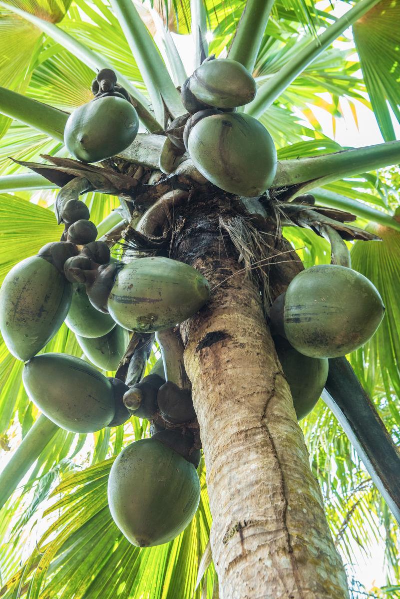 Slavné kokosy Seychel coco de mer (Lodoicea maldivica) rostoucí na palmě. Vallee de mai, Praslin