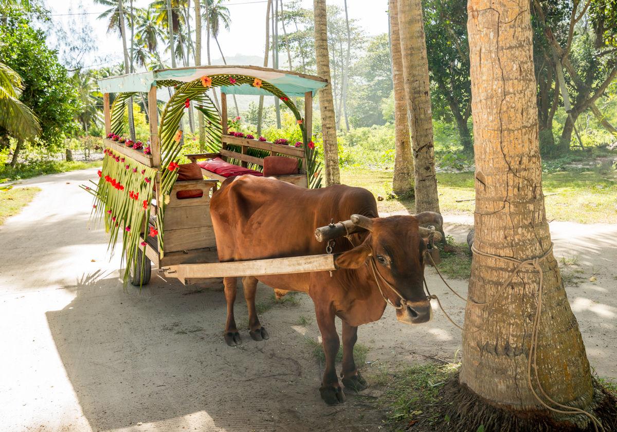 Svatební vozítko na ulici na ostrově La Digue, kde lidé stále používají skot k přepravě a práci na poli