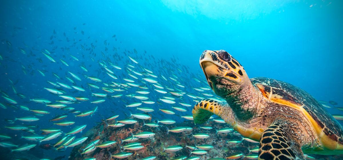 Hawksbilova mořská želva plující v Indickém oceánu, hejno ryb v pozadí