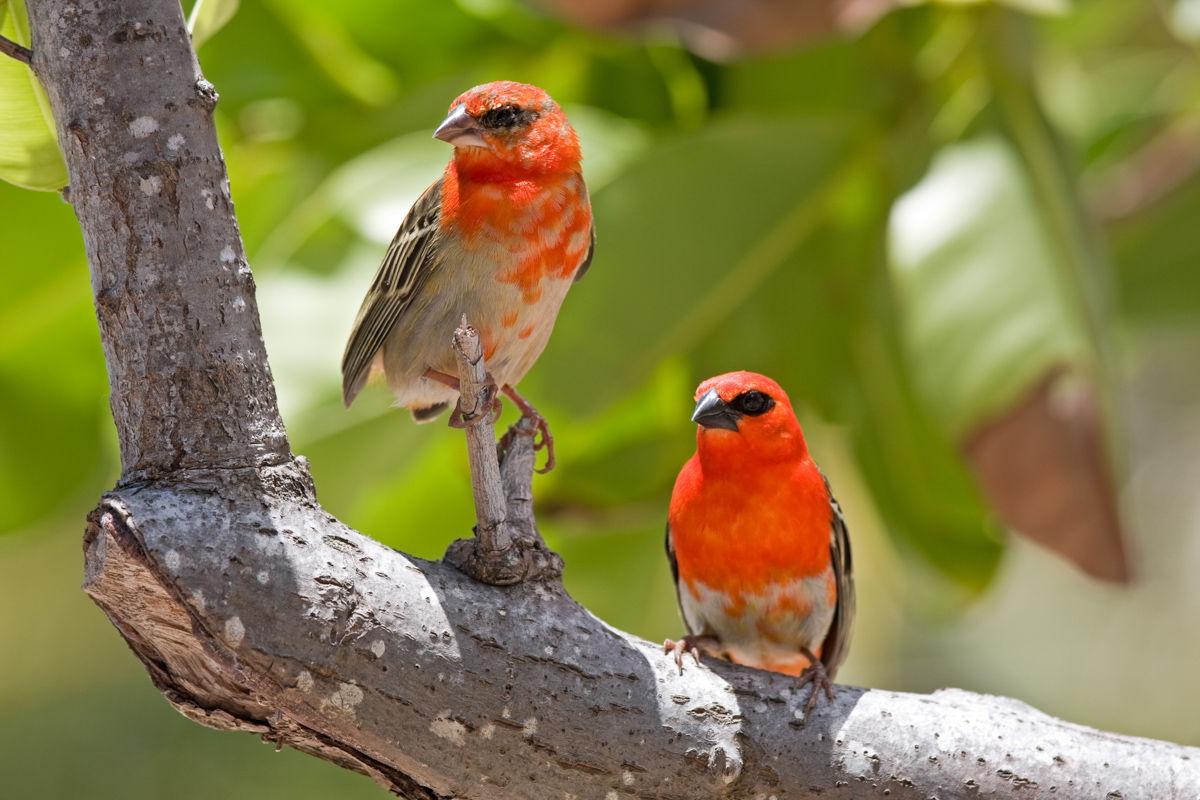 Tropický pták, foudia sechellarum