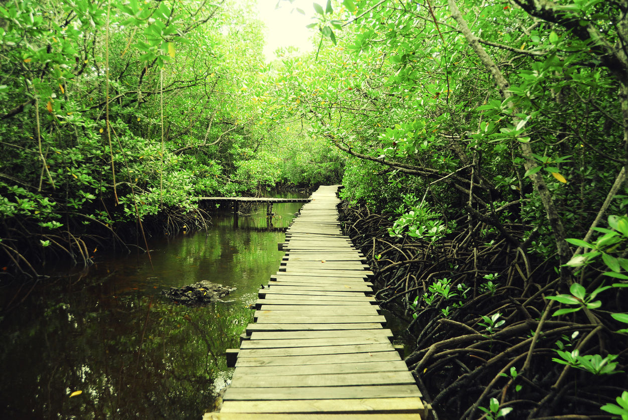 Procházka po lávce mezi Mangovníky blízko Jozani Forest,Zanzibar.