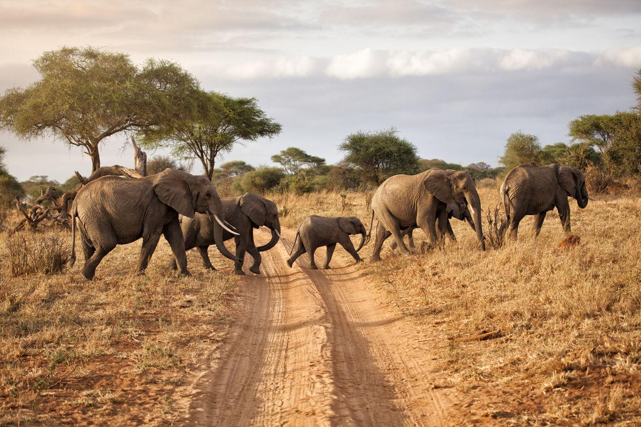Sloní rodinka v Tarangire National park, Tanzania./