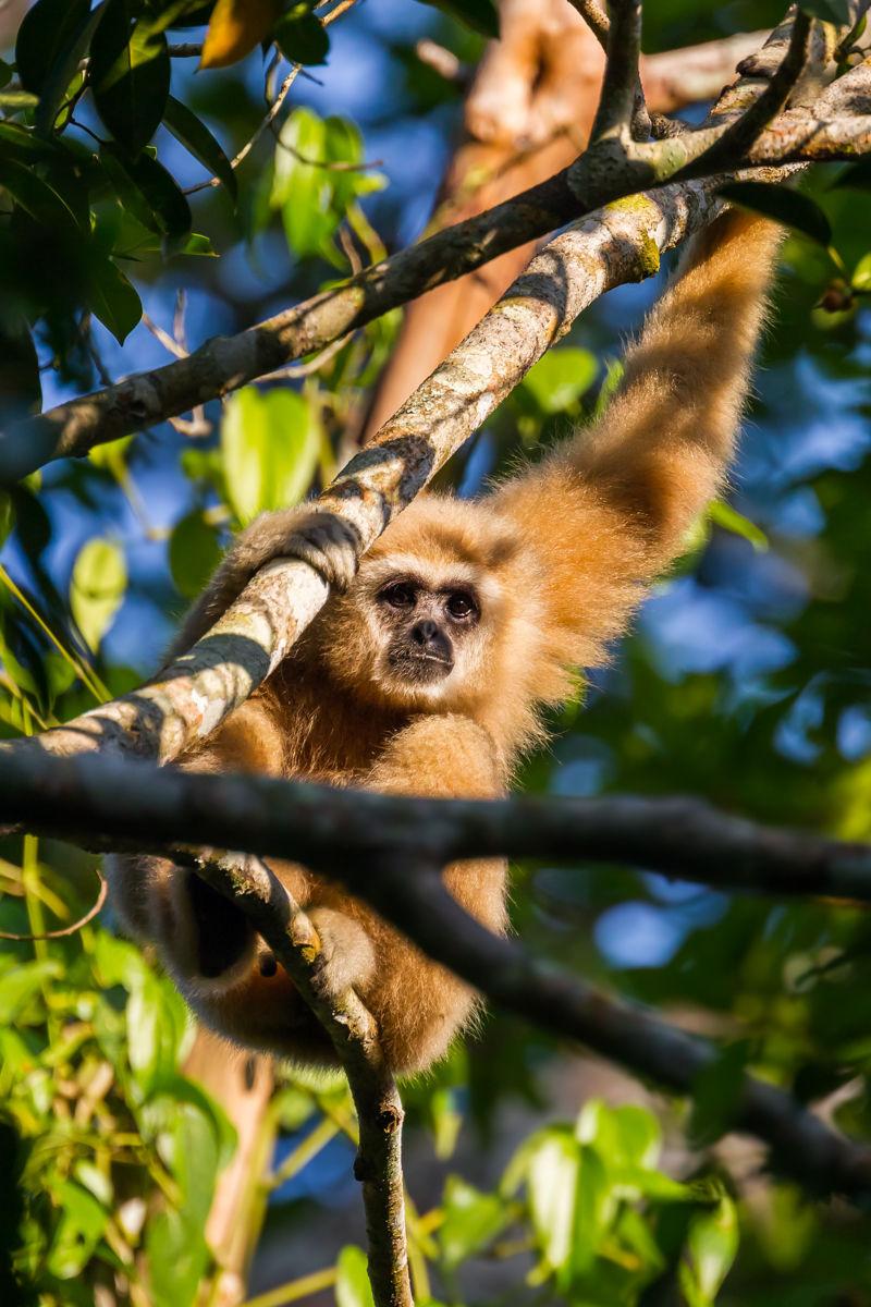 Gibbon (Nomascus leucogenys) ve volné přírodě v Národním parku Keangkrajarn, Thajsko