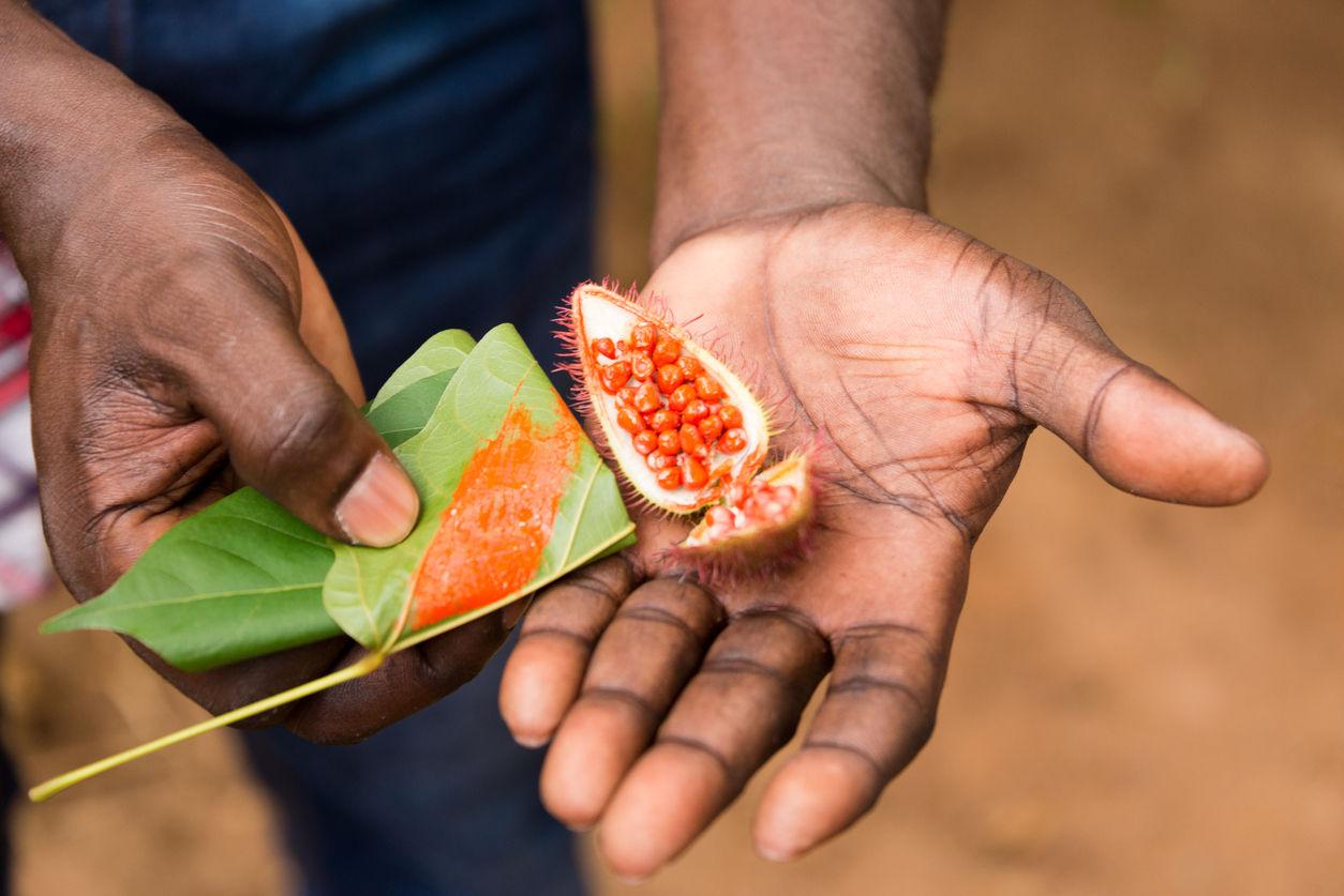 Zemědělec na zanzibarské plantáži s kořením, jak ukazuje barvící semena čerstvě sklizeného koření annatto během prohlídky doprovázené průvodcem