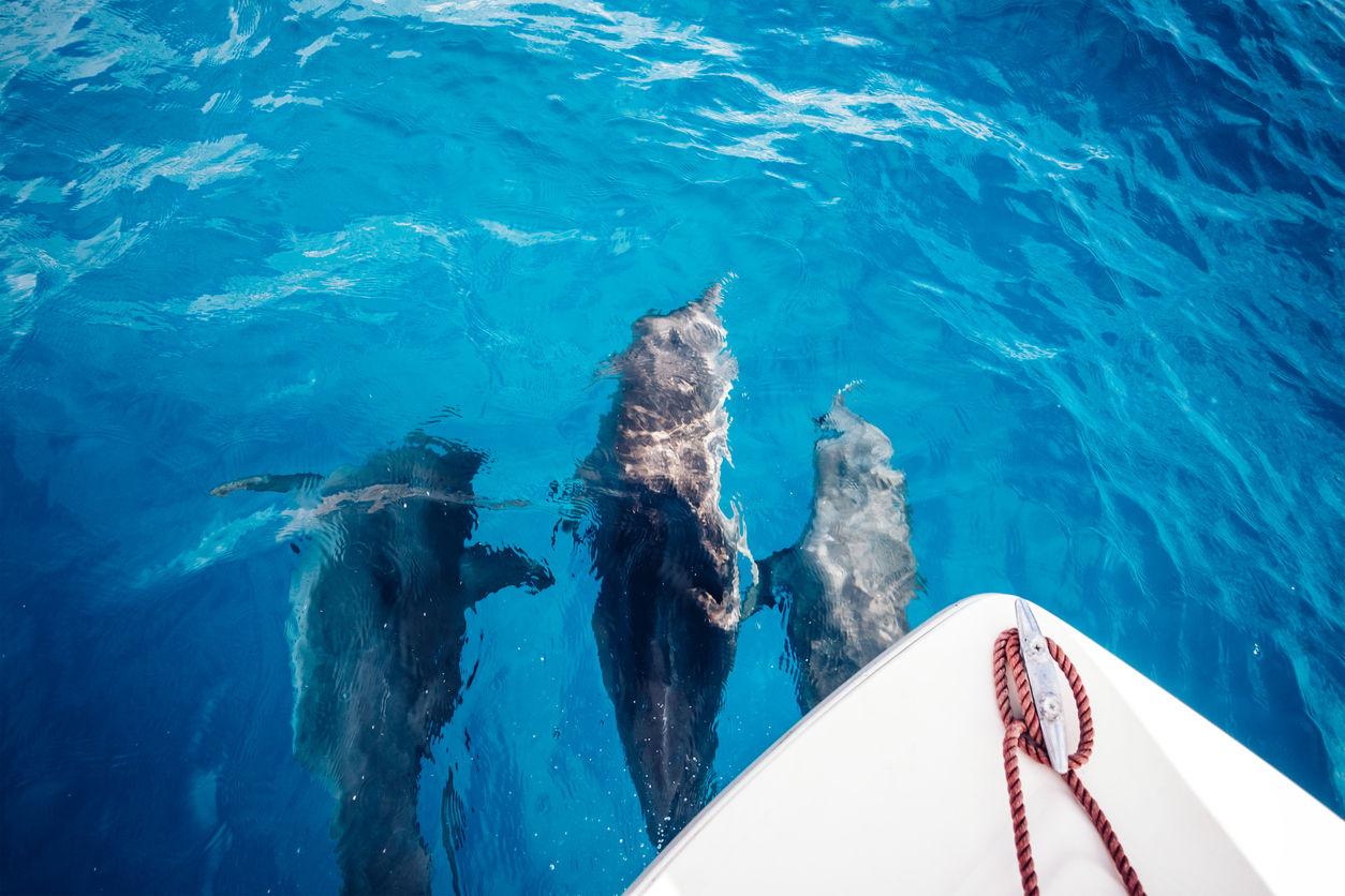 Skupinka delfínů plavajících před člunem. Zanzibar.