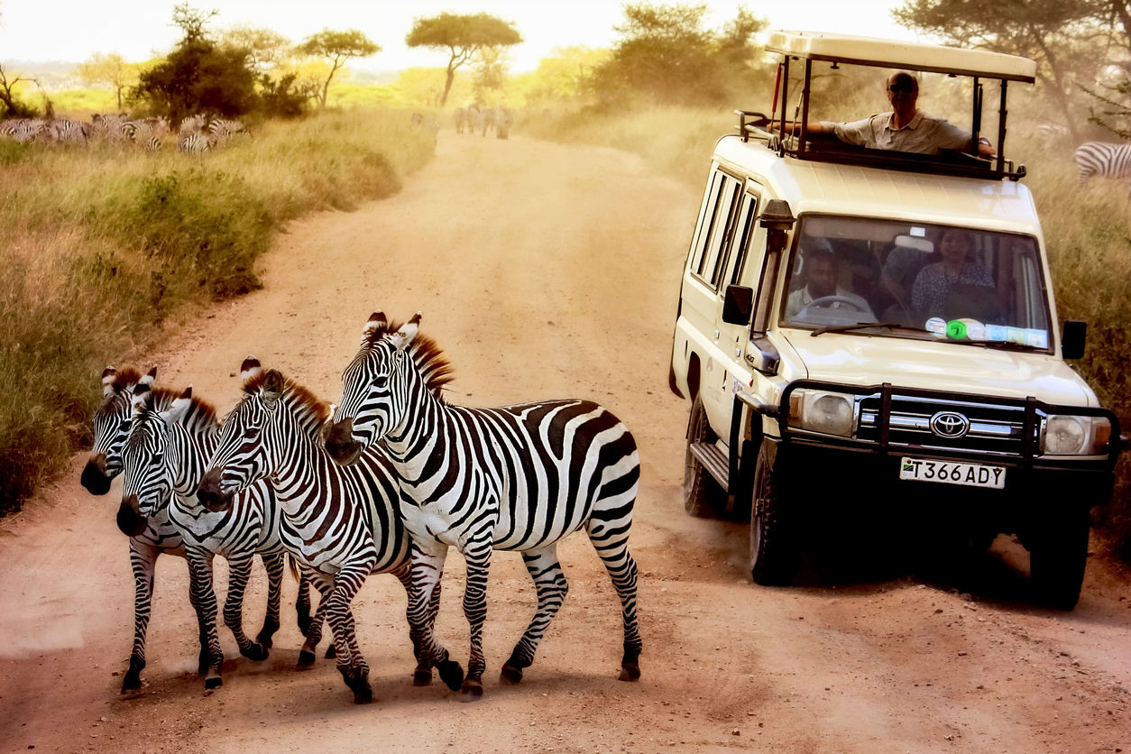 Zebry na cestě v národním parku Serengeti v popředí džípu s turisty. Afrika. Tanzania.
